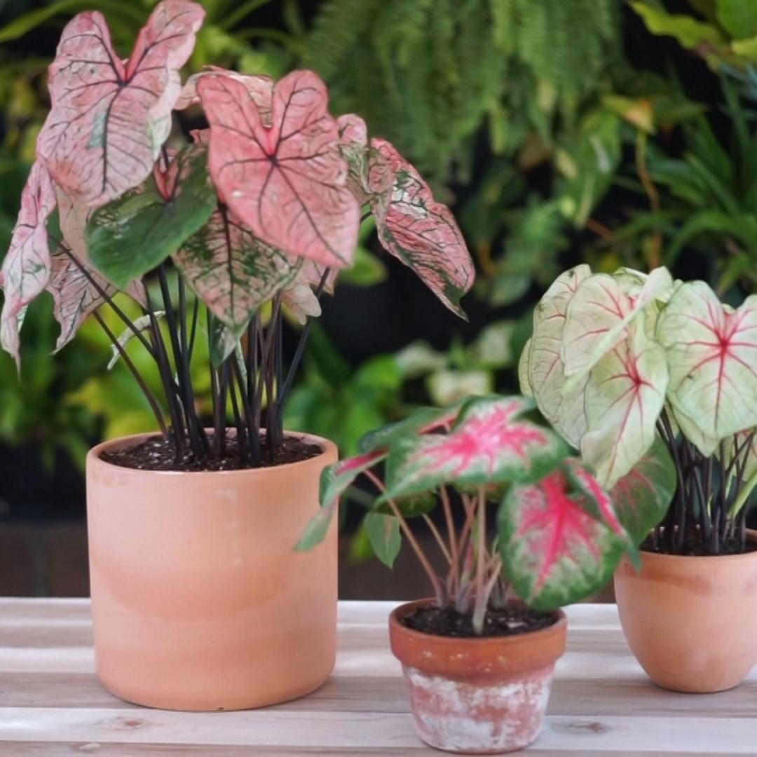 Photo of Caladium Plants