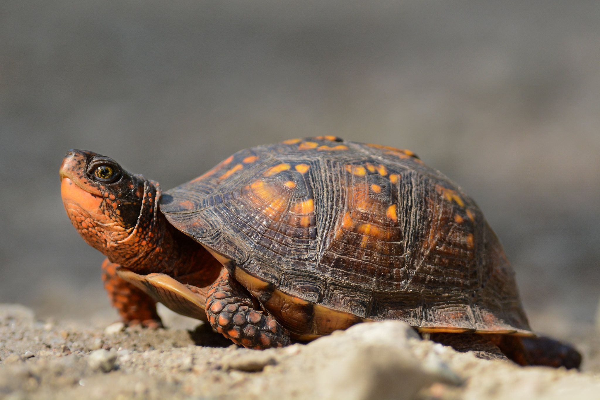 Eastern box turtle not as fast as a warbler dartmouth ma box