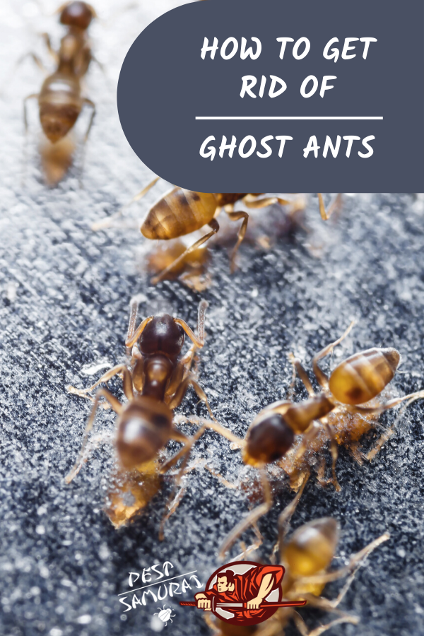 Ghost Ants How To Get Rid Of Ghost Ants Tips And Guide In 2020 Ants Get Rid Of Ants How To Get Rid