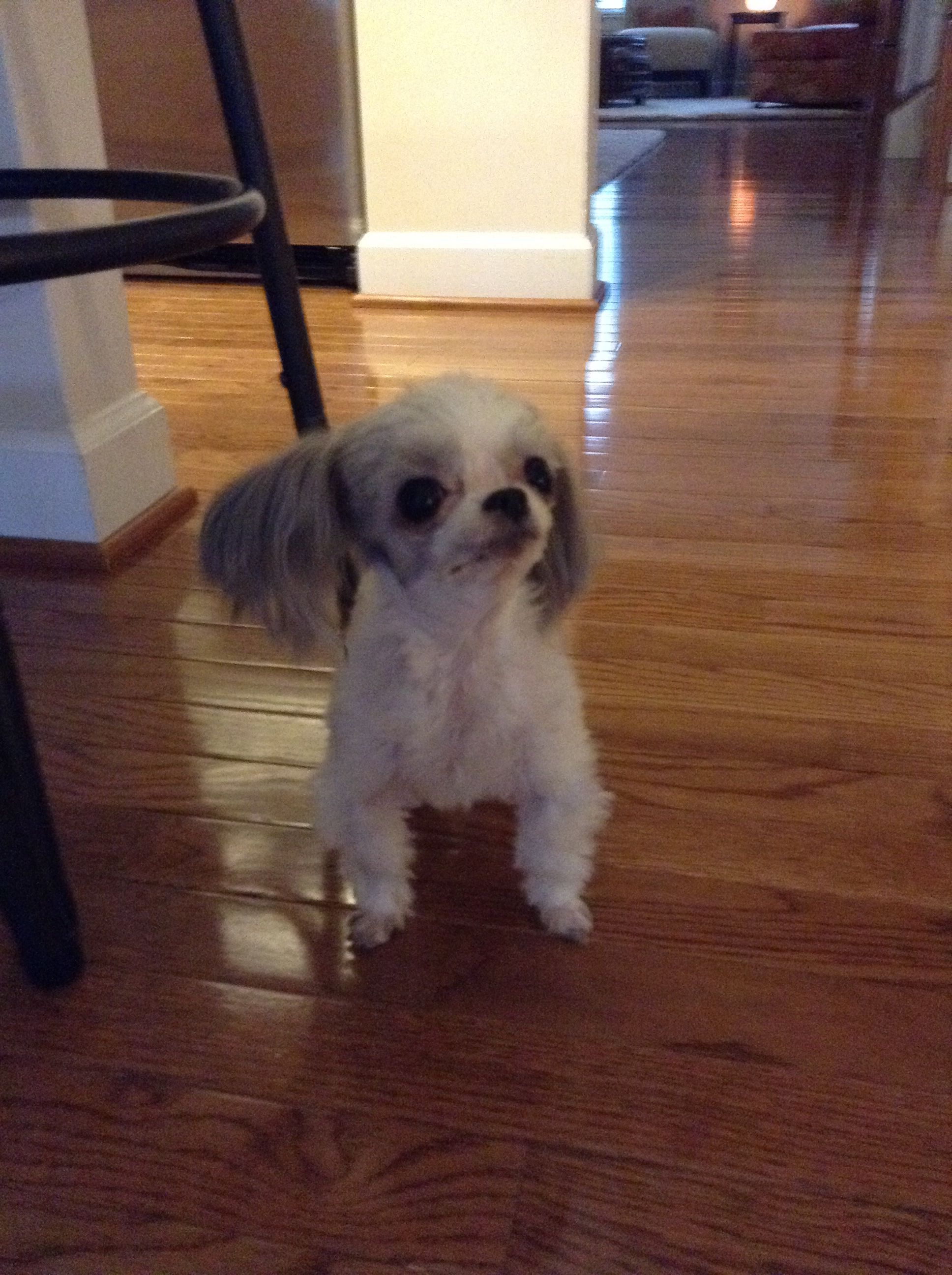 My Own Dog A Breed Called A Miki A Mix Of Japanese Chin Maltese