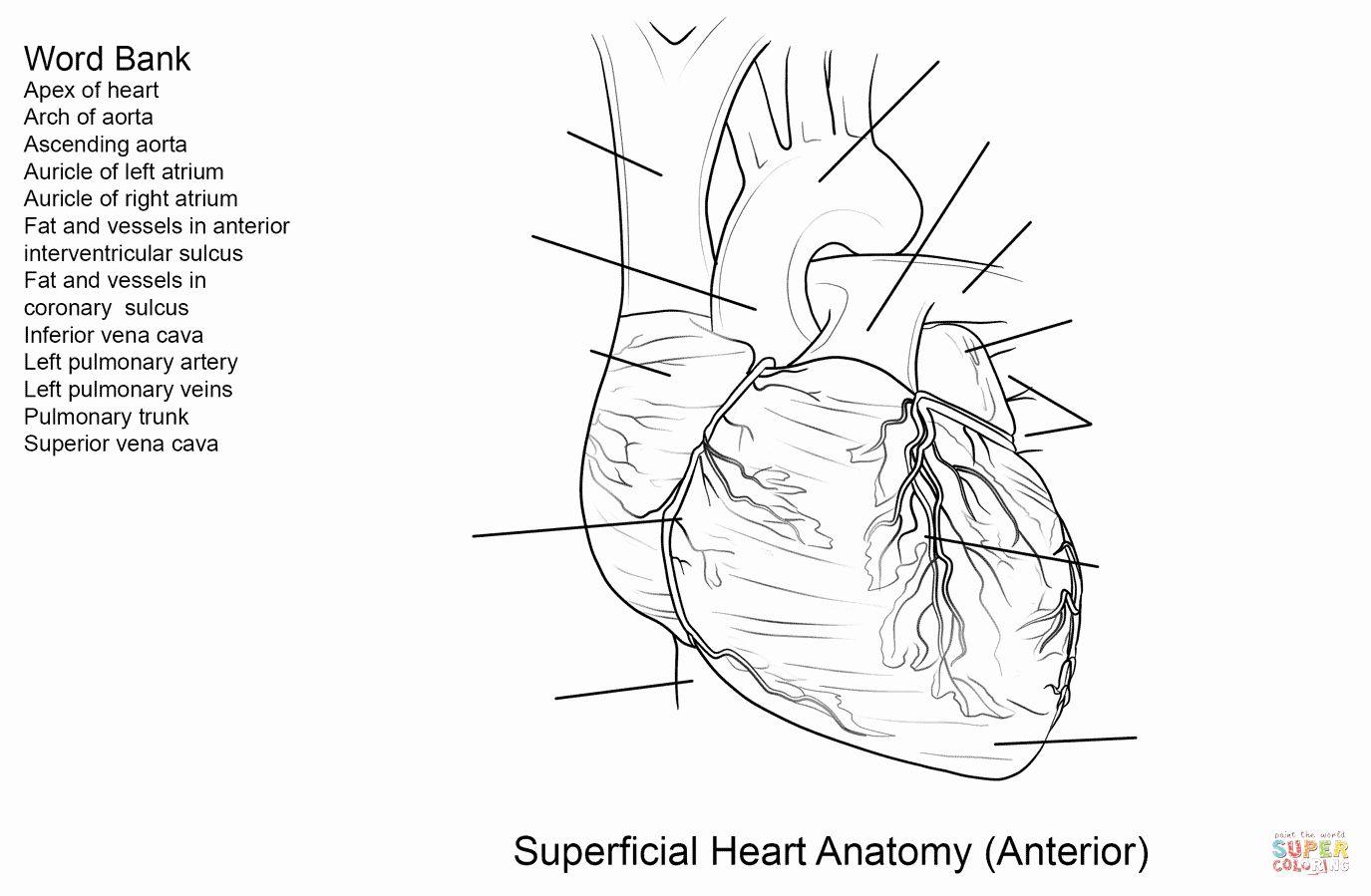 Human Heart Coloring Worksheet Beautiful Free Human Heart