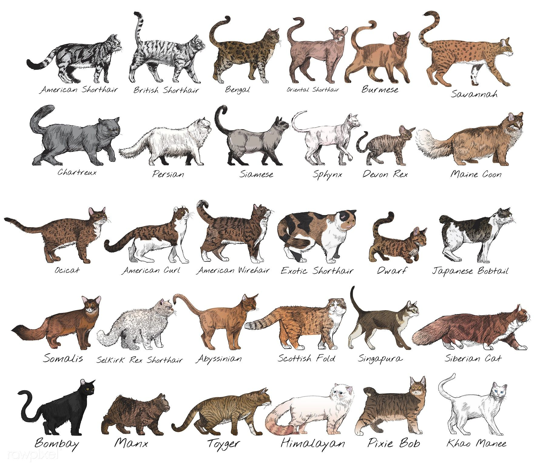 Download premium illustration of Detailed cat breeds