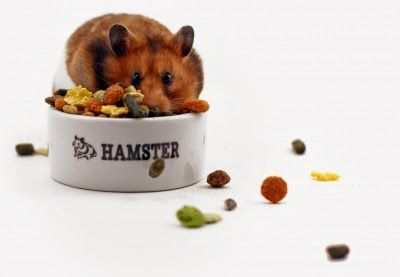 Low Maintenance Pets Hamsters Low Maintenance Pets Hamster Pets