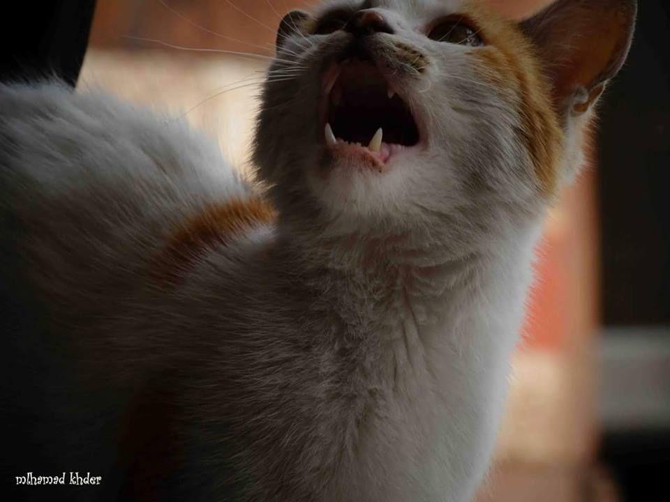 Desperately Asking For Food Jisr Alchughour Syria Frown Emoticon الجوع كافر جسر الشغور سوريا Cats Animals Fox