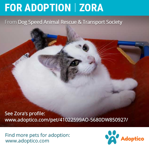 Adorable Pet Zora On With Images Cat Adoption American Shorthair Pet Adoption