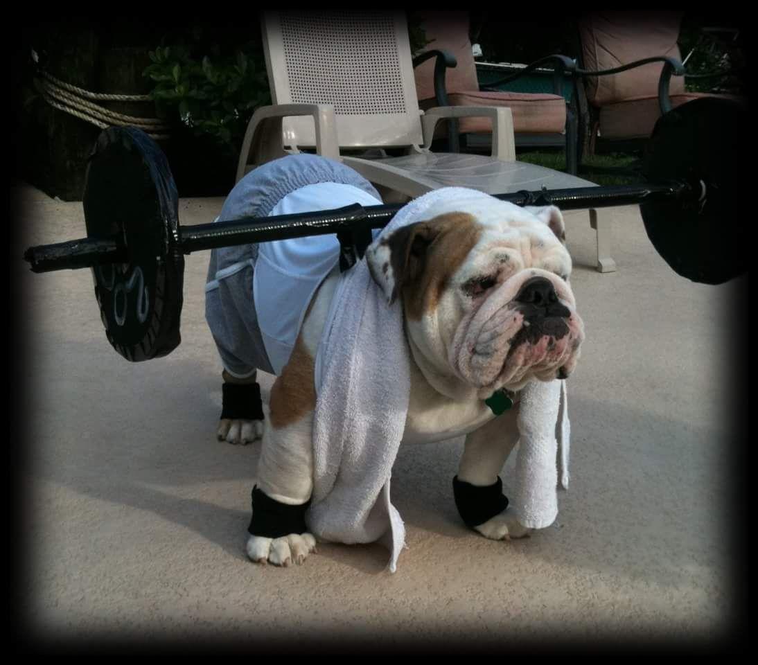 Best 25+ Bulldog halloween costumes ideas on Pinterest ...