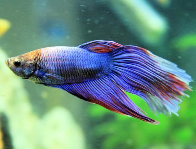 Fish Lifespans Vary By Species And Are Affected By Aquarium