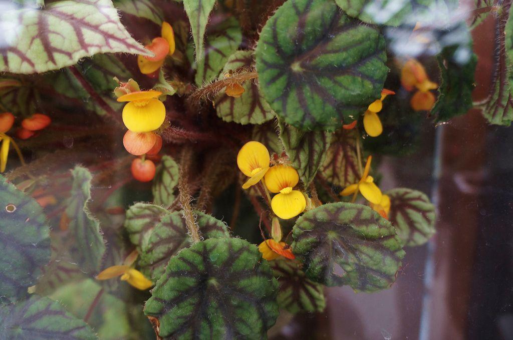 Begonia Northern Lights Begonia Rhizomatous Hybrid Bonsai Plants Plants Begonia