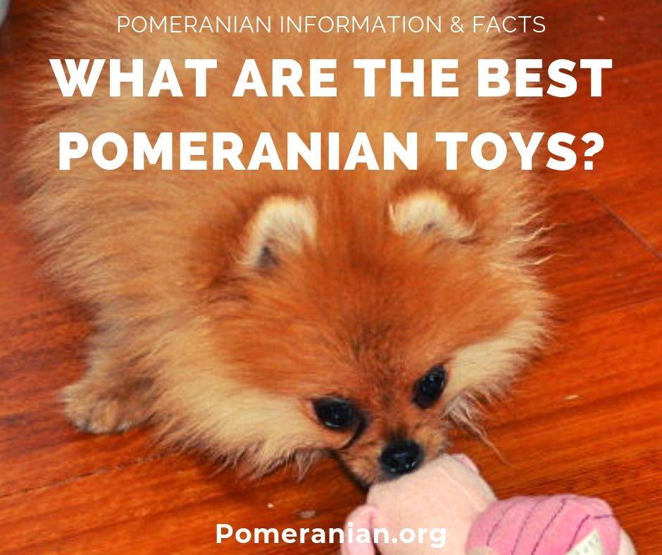 Pomeranians Toys Pomeranian Dochlaggie In 2020 Pomeranian Puppy Pomeranian Pomeranian Dog