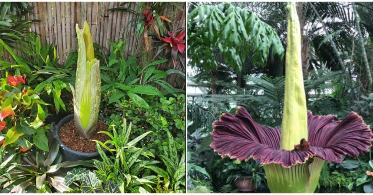 A Rare Flower That Smells Like A Corpse Is About To Bloom In Toronto This Month In 2020 Rare Flowers Bloom Amorphophallus Titanum