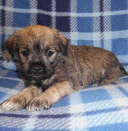 Schnauzer Puppy For Sale Coraline Jpg With Images Puppies For Sale Miniature Schnauzer Puppies Miniature Schnauzer