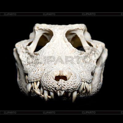 Crocodile Skull Front View Skulls Pinterest Crocodile Animal