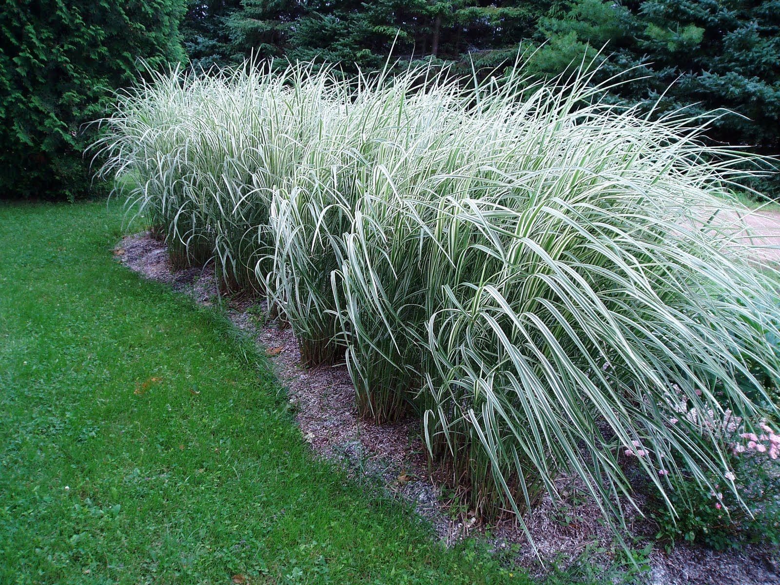Lovegrass Farm Miscanthus Sinensis Variegatus Tall Ornamental Grasses Ornamental Grasses Grasses Landscaping