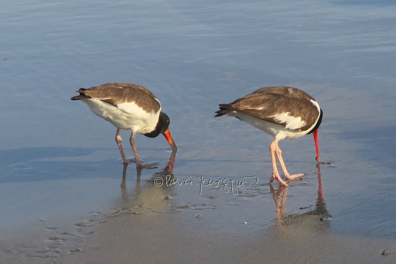 American Oystercatchers enjoying the Atlantic at Long Beach New York. Interesting truisms re this bird type can be found in an entry on my blog @http://www.thelastleafgardener.com/2016/07/tuesdays-truths-week-two-american.html#more #shore birds #American Oystercatchers #Atlantic Ocean #Long Beach