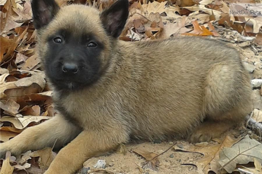 Akc Dallas 4m Ch Pedigree Belgian Malinois Puppy For Sale Near Oklahoma City Oklahoma With Images Malinois Puppies Malinois Puppies For Sale Belgian Malinois Puppies
