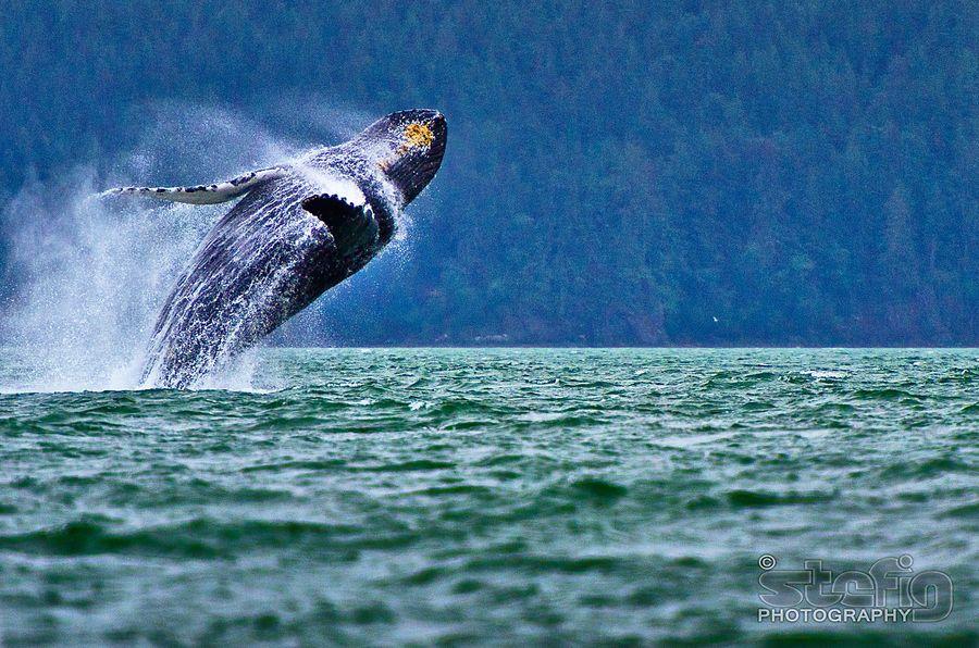 Jumping Whale Alaska By Stefan Georgiev Whale Animals Amazing Animals