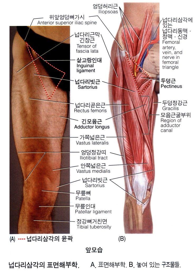 넙다리(대퇴)의 근육 12 - Adductor Longus 긴모음근 장내전근 長內轉筋 ...