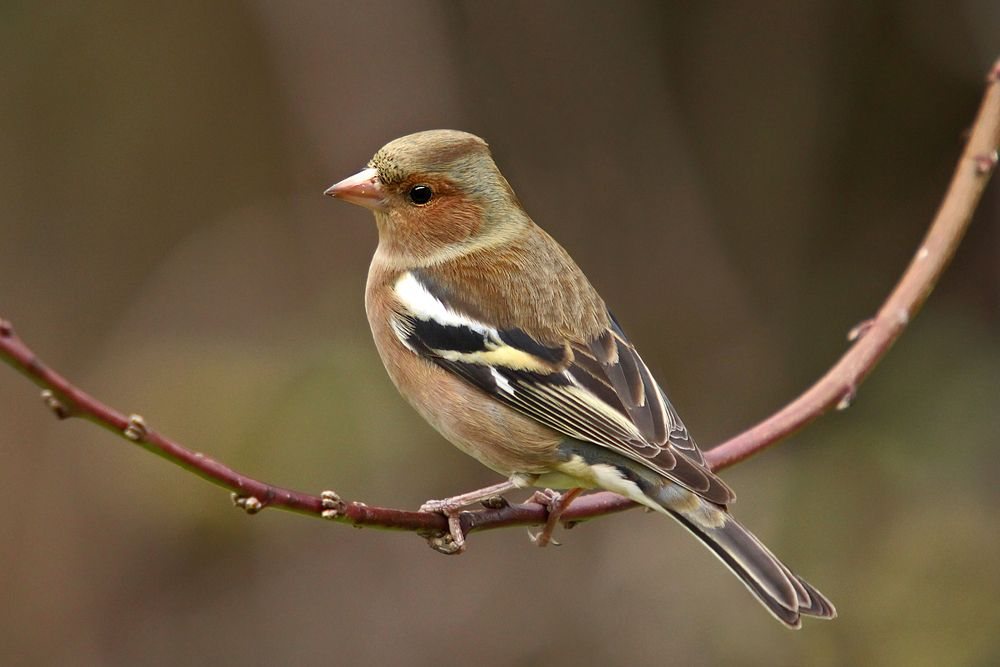 الحسون الظالم او طائر البانسو كل ماتود معرفته حول هذا العصفور طيور العرب Birds Animals Bird