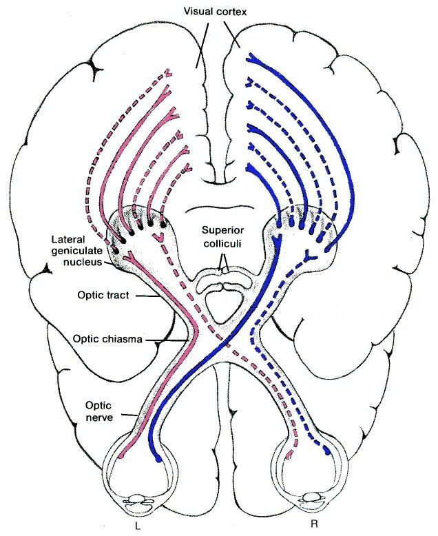 Visual pathways | psych-ology | Pinterest