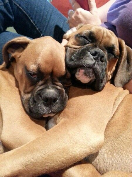 15 week old boxer puppy brothers cuddling so adorable