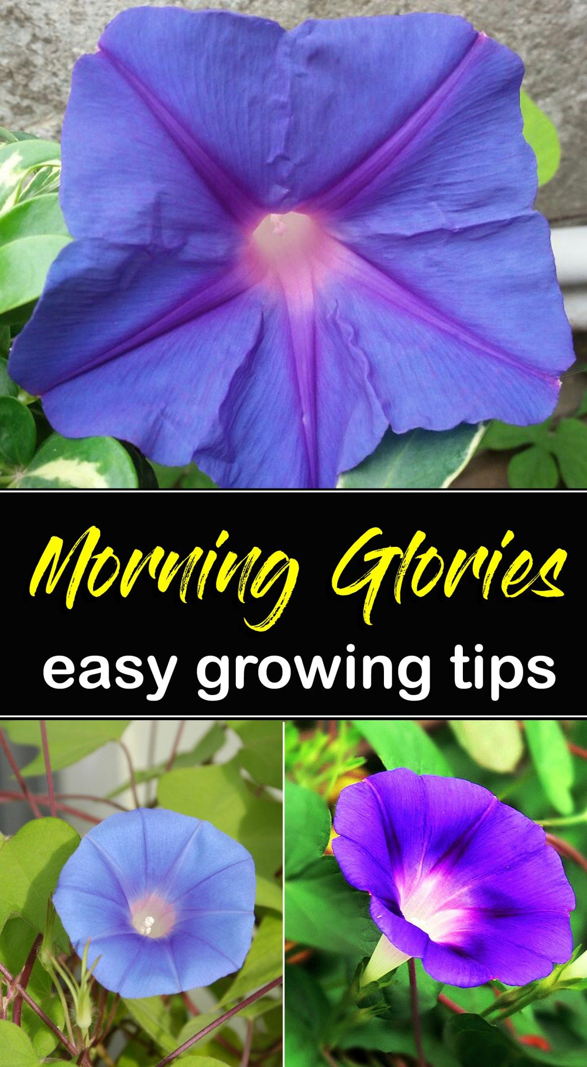 How To Grow Morning Glory Growing Morning Glory In A Container Naturebring Morning Glory Plant Morning Glory Flowers Garden Vines