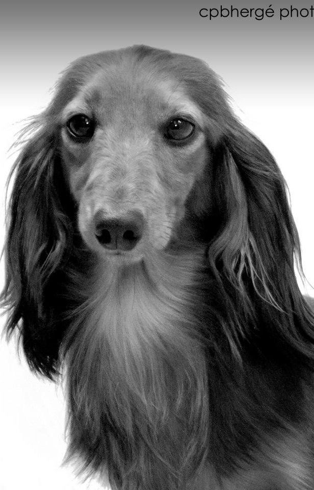 Beautiful Longhaired Dachshund Sausage Dog Doxie Dachsy