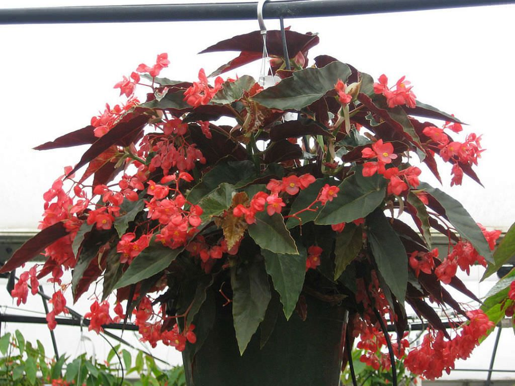 Begonia Coccinea Scarlet Begonia World Of Flowering Plants Begonia Planting Flowers Plants