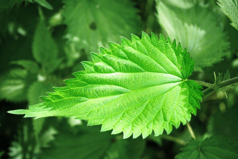 Brennessel (Urtica) || beliebt als Tee || zur Entschlackung und Anregung des Stoffwechsels