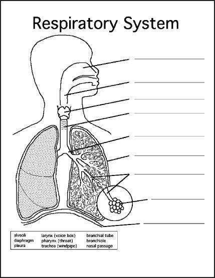Respiratory System Diagram to Label Lovely Respiratory ...