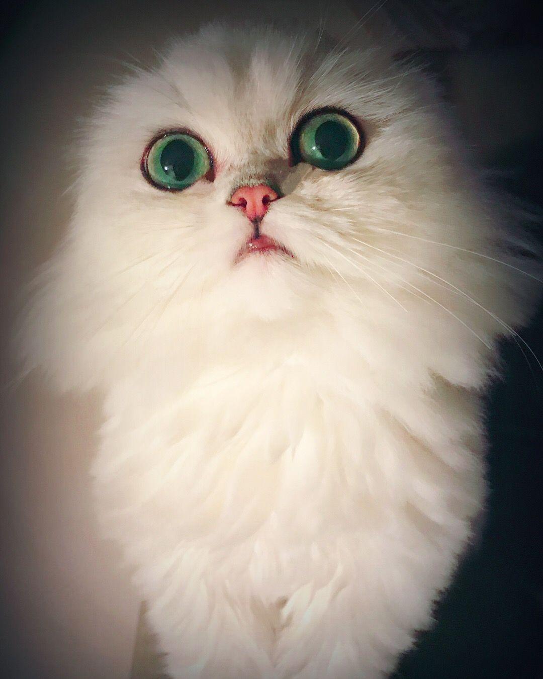 Persian Cat Scottish Fold Pedigree Cats Scottish Fold Kittens