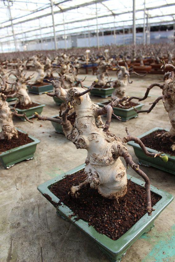 #Bonsai Ficus carica - Producción Mistral Bonsai - Spain.