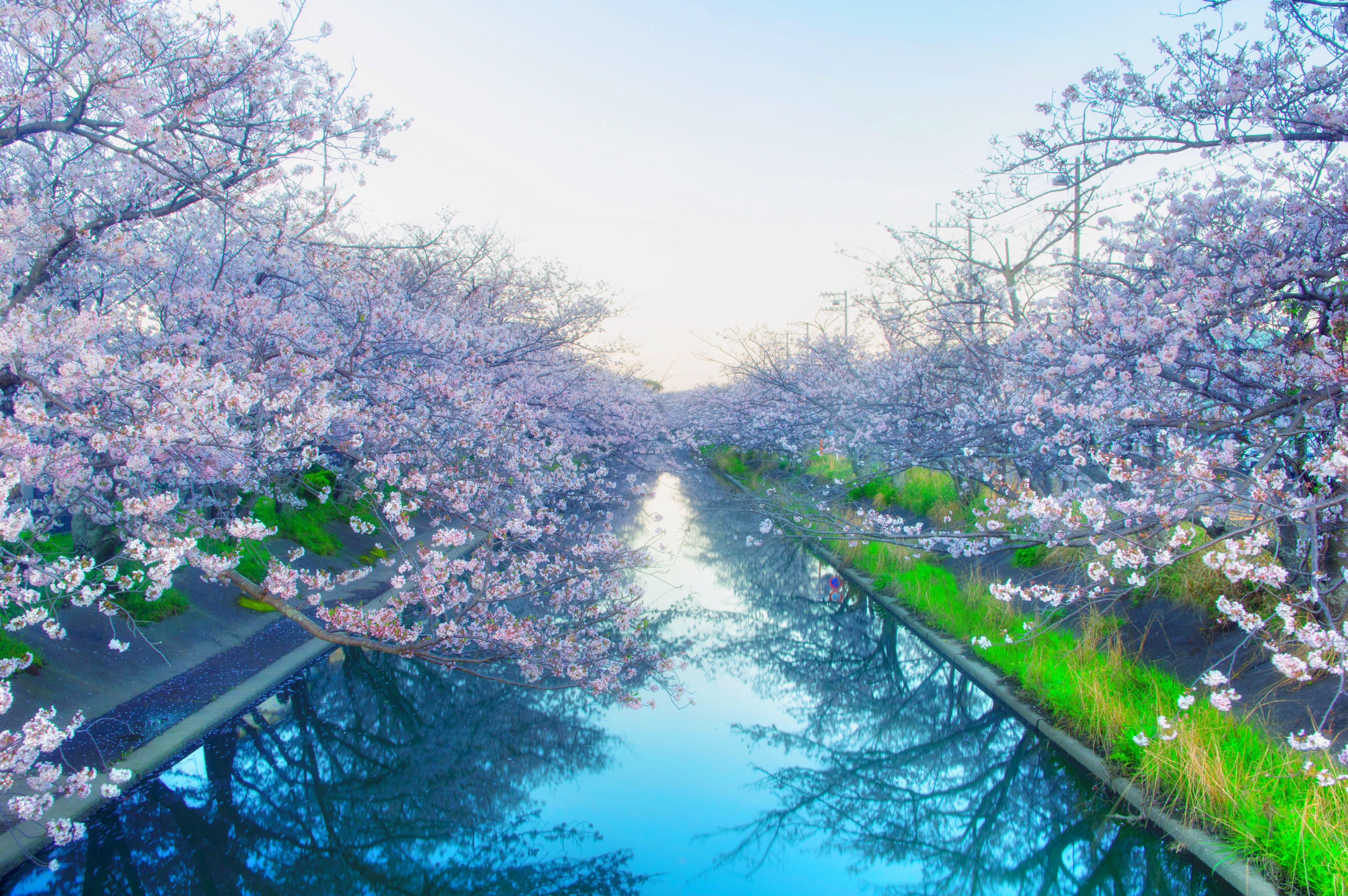 Cherry blossom tree near body of water japan cherry