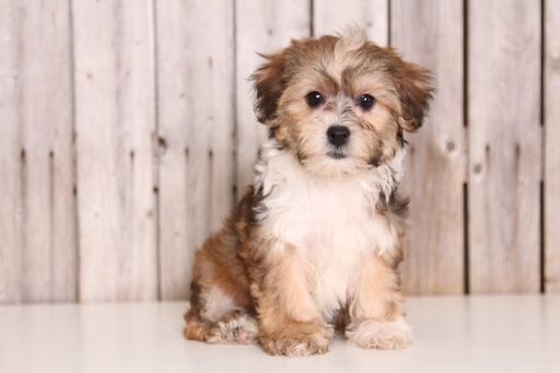 Yorkie Poo Puppy For Sale In Mount Vernon Oh Adn 43817 On Puppyfinder Com Gender Female Age 9 Weeks Old Yorkie Poo Yorkie Poo Puppies Puppies For Sale
