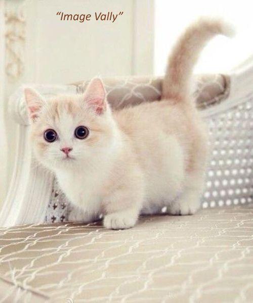 Cute Cat On Beg Munchkin Kitten Cute Animals Kittens Cutest