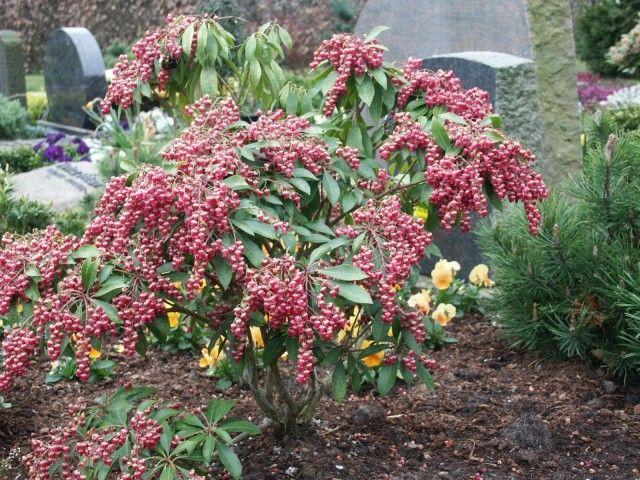 Pieris Japonica Valley Valentine Garden Design Plans Plants Garden Design