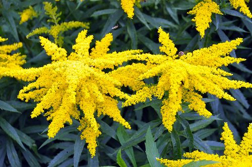Top 23 Plants For Pollinators Attract Bees Butterflies Hummingbirds Homestead And Chill In 2020 Goldenrod Flower Plants Pollinator Garden