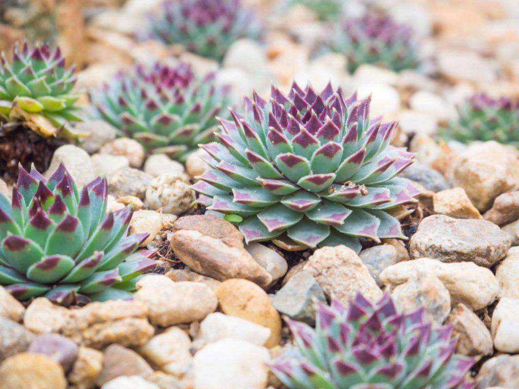 Hauswurz auf Steinen #pflegeleichtepflanzen