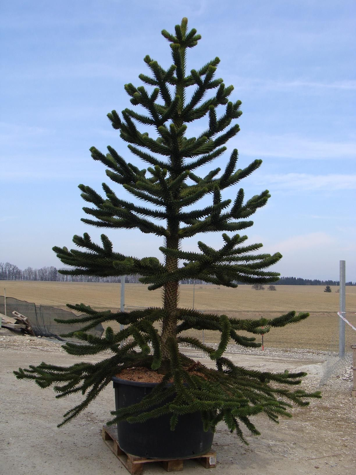 araucariaaraucana monkey puzzle tree plants