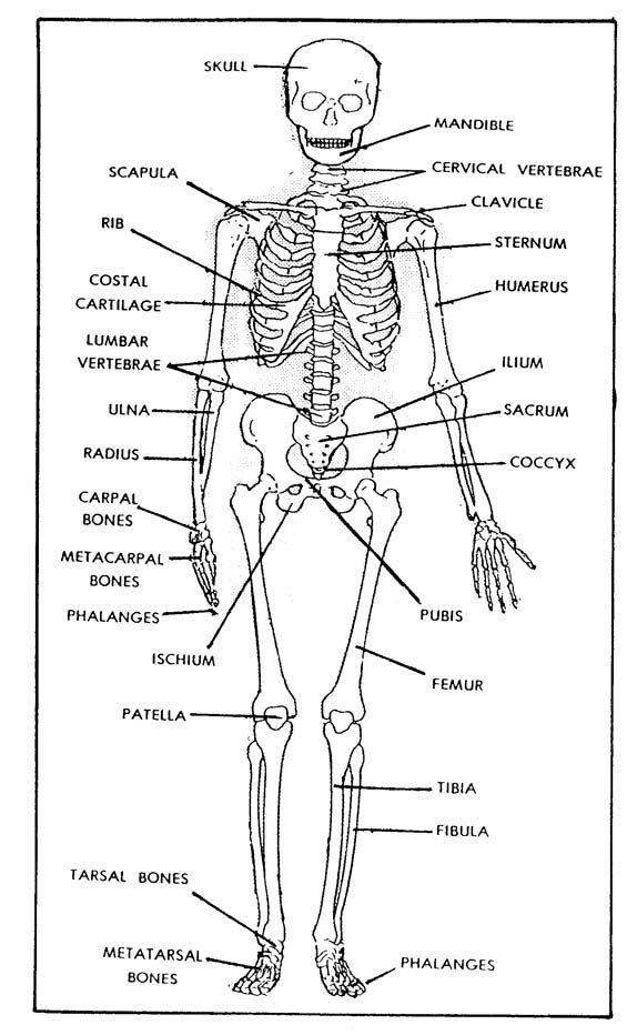 Free Printable Bones Of The Human Body Figure 1 1 The Human