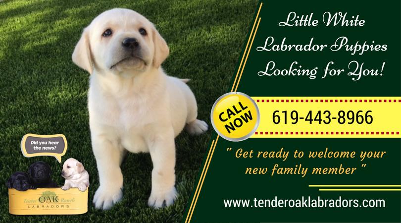 Perfect Labrador Pets For Your Home Labrador Puppies For Sale Labrador Labrador Puppy
