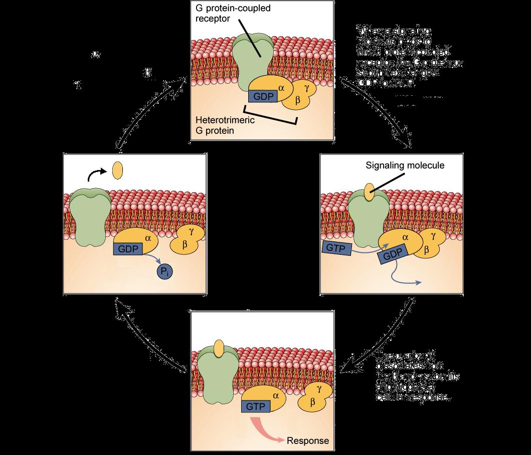 Ligands & Receptors & G Proteins (article)