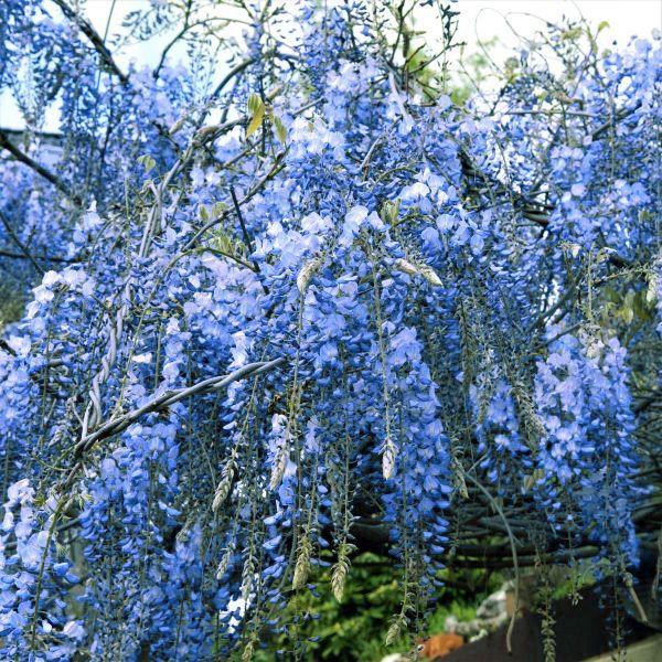 Blue Chinese Wisteria Tree Wisteria Tree Chinese Wisteria Wisteria Plant