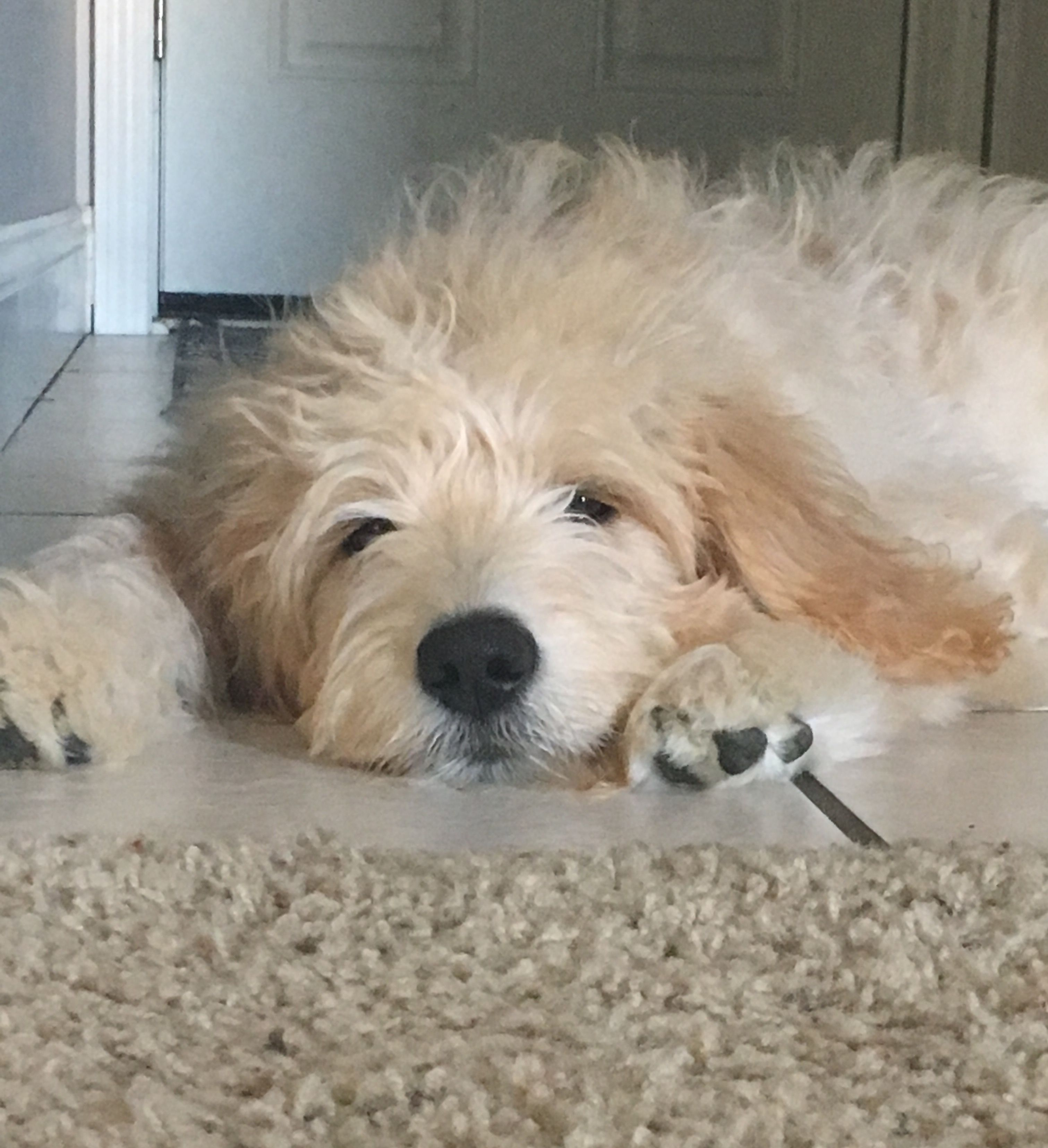 4 Month Old Goldendoodle Harvey Goldendoodle Golden Retriever Mix