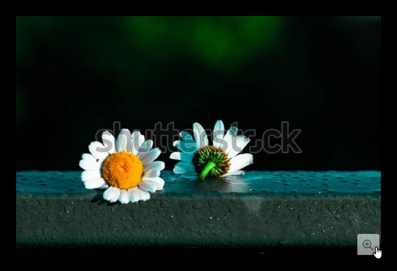 White Chamomile Flowers As An Expression Of Love And Separationالبابونج الأبيض كتعبير عن الحب والا Chamomile Flowers Gardening Advice Garden