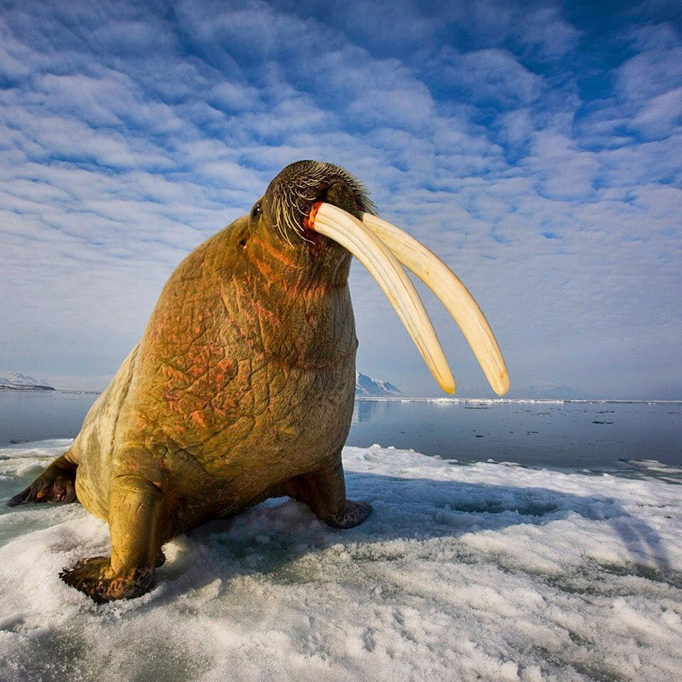 Photograph by @paulnicklen for @natgeo // I have seen thousands of Atlantic walrus but have never seen a set of tusks as large as the ones on this huge male.  They must have been close to 3 feet long which is more common for the larger Pacific walrus.  Walrus have not been hunted in Svalbard Norway since 1952.  Before that they were nearly driven to extinction from 350 years of hunting.  Now their population is doing well but like that of polar bears walrus rely on sea ice in order to…
