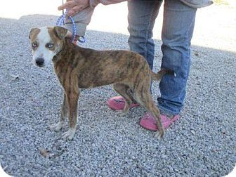 Providence Ri Husky Catahoula Leopard Dog Mix Meet Lady In Ky A Puppy For Adoption Catahoula Leopard Dog Leopard Dog Puppy Adoption