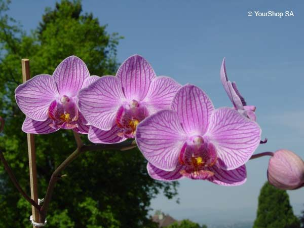 Orchid Flower from Switzerland
