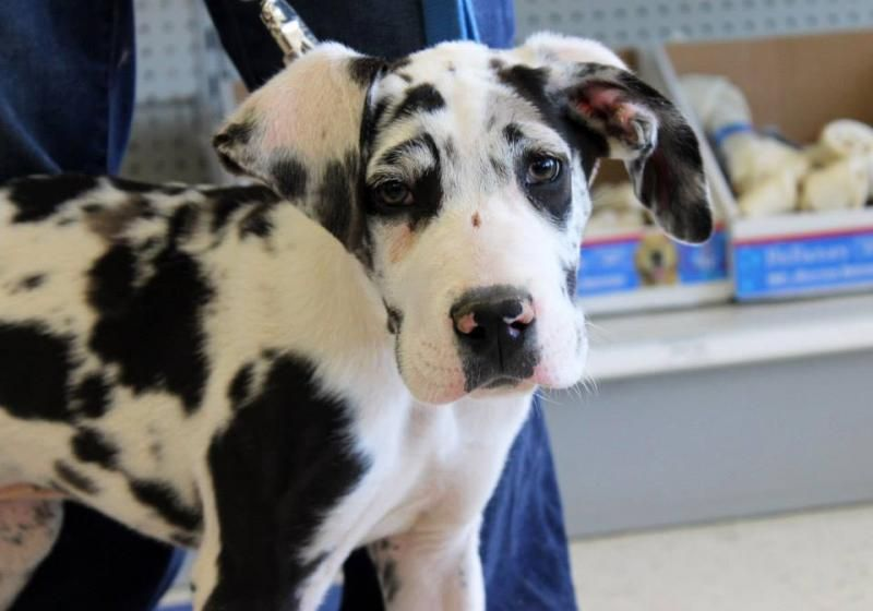 Adopt Avery On Great Dane Dogs Animal Rescue Great Dane