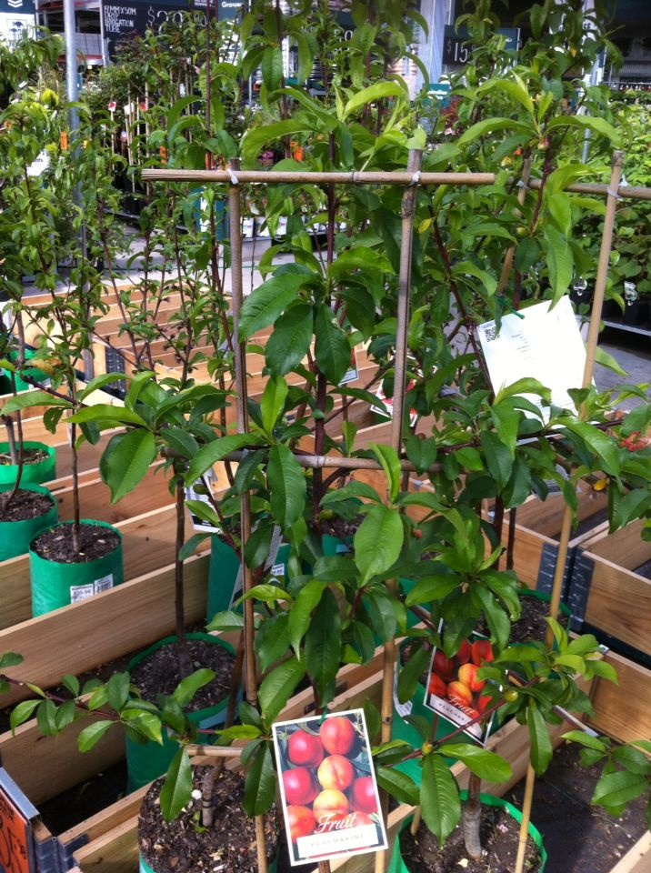 Saw This Great Peach Espalier At Bunnings Today Nothing More Than Some Bamboo And Zip Ties Simple Tree Was Roughly 1 8m And Looked Fan Plants Garden Bamboo