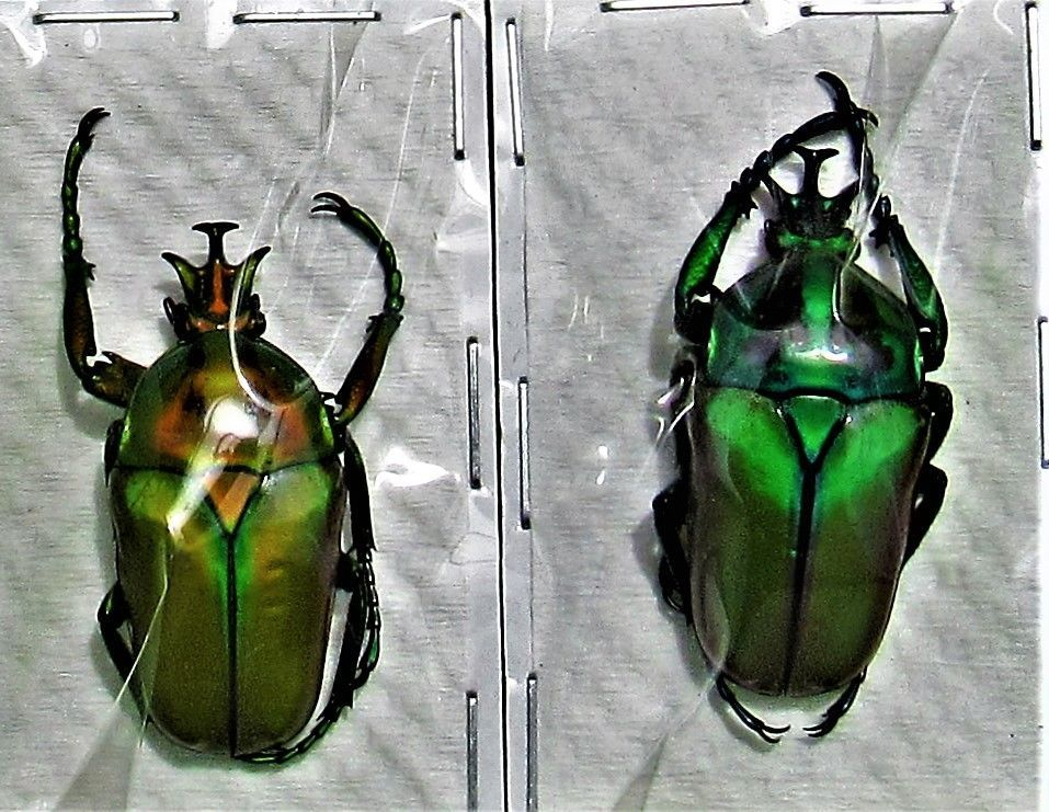 Bright Green Derby/'s Flower Beetle Dicronorrhina derbyana oberthueri Pair M+40mm